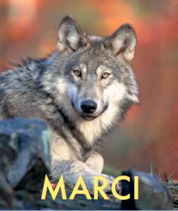 Image of grey wolf