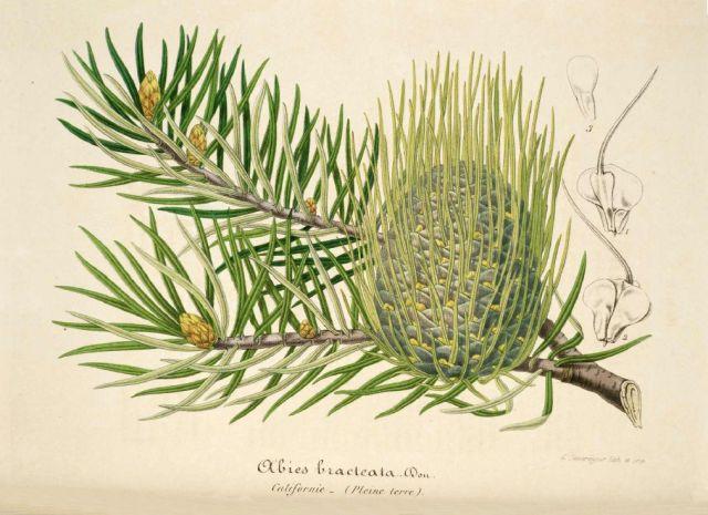 Bristlecone Fir via Wikimedia Commons