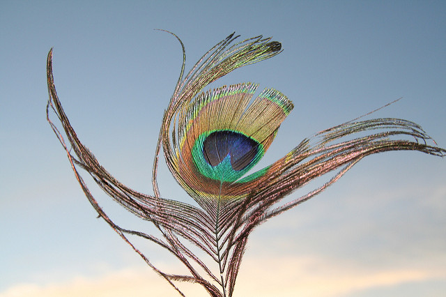 Wistful peacock feather with a blue-grey sky background